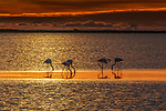 Greater flamingos, Camargue, France