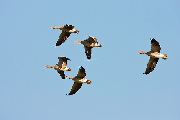 Greylag Goose (Anser anser) Family unit flying over on thier way to feed in nerby fields. This species is the ancestor of domesticated geese in Europe and North America.