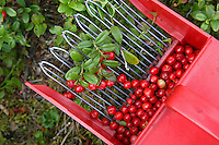 Cowberries (Vaccinium vitis-idaea). Also called lingonberry, lingon (Sweden). It is a small evergreen shrub in the flowering plant family Ericaceae and its edible fruit is widely used in the Nordic countries.