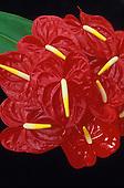 Red anthurium (andraeanum) plant, popular island ornamental