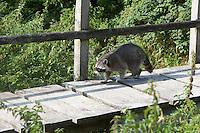 """Waschbär läuft über eine Brücke, Männchen, Rüde, Waschbaer, Wasch-Bär, Procyon lotor, Raccoon, Raton laveur, """"Frodo"""""""