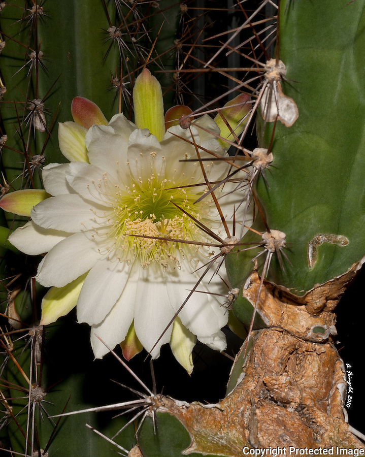 White Cactus Flower, Cacti, Cactus Flower, Midnight Bloom, Macro Photography,<br />