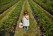 Katie McLamb, 2, of Hillsborough, NC, eats some of her harvest of strawberries from the Whitted Bowers certified Organic and Biodynamic farm after digging through their U-pick field Tuesday, May 5, 2015 in Cedar Grove, NC.