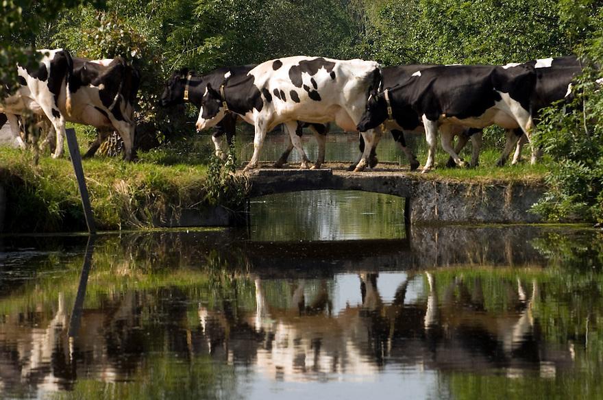 Nederland, omgeving Driebruggen, 8 juni   2006..Landbouwgebied,  .Koeien lopen over een klein bruggetje naar de boerderij om gemolken te worden. landbouw.Groene hart, mooi landschap...Foto (c) Michiel Wijnbergh..cows walking over a bridge to go to the farm for milking.agriculture