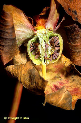 CA01-026a  Pitcher Plants - ovary cx with seeds, carnivorous plant- Sarracenia purpurea