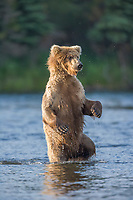 Brown bear stands up to get a better view while fishing for salmon in the Brooks river, Katmai National Park, Alaska