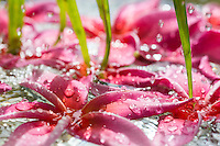 Pink, rain-wet fragrant plumeria flowers floating in the water, O'ahu.
