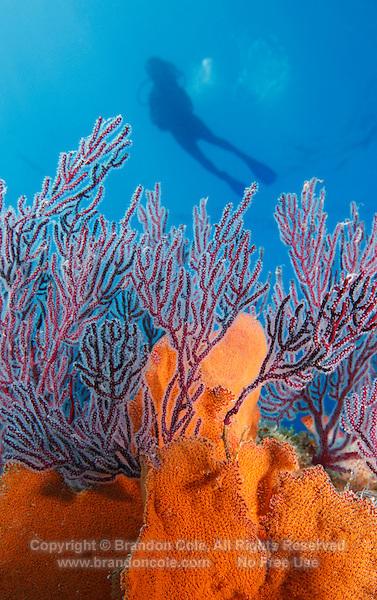 QT0075-D. scuba diver (model released) above gorgonians and sea fans (Pacifigorgia sp.). Baja, Mexico, Sea of Cortez, Pacific Ocean.<br /> Photo Copyright &copy; Brandon Cole. All rights reserved worldwide.  www.brandoncole.com