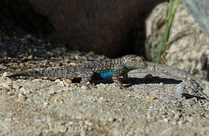 425900027 a wild great basin fence lizard sceloporus occidentalis longipes near keogh hot springs inyo county california