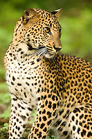 A young leopard investigates the lush new growth of the wet season.  Yala National Park