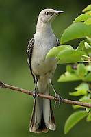 If you've been hearing an endless string of 10 or 15 different birds singing outside your house, you might have a Northern Mockingbird in your yard.