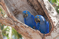 Hyacinthine Macaw (Anodorhynchus hyacinthinus), Mato Grosso, Pantanal, Brazil