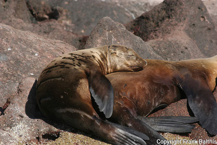 CA sea lions rest