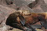 CA sea lions rest