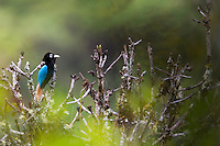 Blue Bird of Paradise (Paradisaea rudolphi) perched on a branch, Enga Province, Papua New Guinea