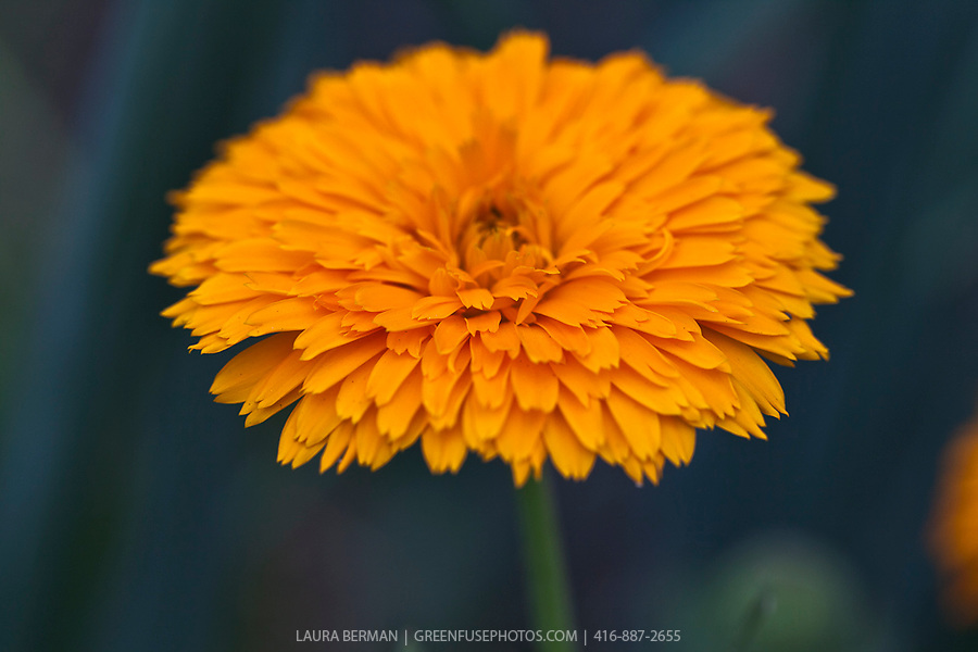 Double-flowered calendula (Calendula officinalis)