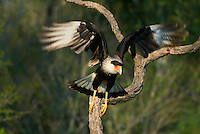 511580081 a wild adult caracara caracara plancus takes flight from a dead snag perch on a private ranch in the rio grande valley texas