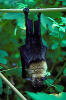 Palauan fruit bat, Anguar, Palau-captive animal
