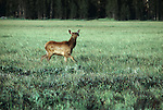 An elk calf walks through a grassy meadow.