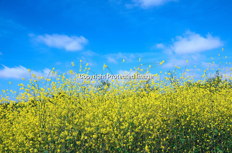 Stock photos of Beautiful field of Mustard Plants