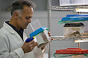 Professor Karim Vahed captive breeding Scaly Crickets (Pseudomogoplistes vicentae) in the laboratories at the University of Derby for release onto a shingle beach site on the Devon coast.