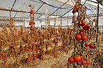 Tomatoes dry-out in a greenhouse, a month prior to Israel's pullout from Gaza, in the Israeli settlement bloc of Gush Katif, Gaza Strip.