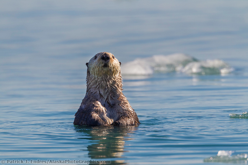 A curious sea otter raises its head from the water to get a better look while swimming in Nellie Juan Lagoon, Prince William Sound, southcentral, Alaska.