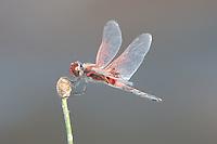 Red-veined Pennant (Celithemis bertha) Dragonfly - Male, Highlands Hammock State Park, Sebring, Highlands County, Florida