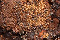 The brood cells of the bees of the meliponini family are laid out horizontally, unlike those of European bees. These cells are constantly filled with new eggs.