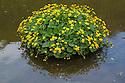 Marsh Marigold (Caltha palustris) in flower in the River Wye, Monsal Dale, Peak Distict National Park, Derbyshire, UK. May.