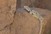 414390017 a wild great basin or desert collared lizard crotaphytus insularis bicinctores perches on a rock along chalk cliffs road near bishop in northern inyo county california united states