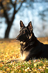 German Shepherds outdoors in brilliant Fall Color Shopping cart has 3 Tabs:<br /> <br /> 1) Rights-Managed downloads for Commercial Use<br /> <br /> 2) Print sizes from wallet to 20x30<br /> <br /> 3) Merchandise items like T-shirts and refrigerator magnets