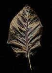 Dried wet leaf