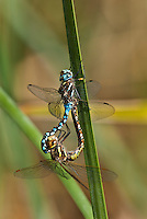 339360034 a pair of blue-eyed darners rhionaeschna multicolor mating or in tandem perched on a reed in the fish slough area near bishop mono county california united states