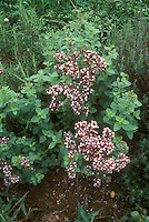 Oregano herb in flower, Origanum vulgare, culinary plant