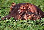 Hippopotamus, Serengeti National Park, Tanzania