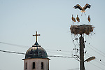 Storks nest in sticks at the top of a power pole, church steeple,  Kapitan Andrevo, Bulgaria