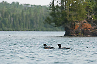 Common loons and chicks at Isle Royale National Park.