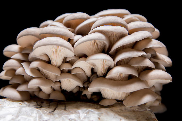 Apex, North Carolina - Monday March 21, 2016 - Gray Oyster mushrooms from Fox Farm.
