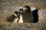 South America, Argentina, Punta Tombo, Chubut Province. Seasonal nesting grounds of the Magellenic Penguins.