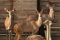 Greater kudus (Tragelaphus strepsiceros), with a pair of ostriches in the foreground, in the Zone Sahel-Soudan of the new Parc Zoologique de Paris or Zoo de Vincennes, (Zoological Gardens of Paris or Vincennes Zoo), which reopened April 2014, part of the Musee National d'Histoire Naturelle (National Museum of Natural History), 12th arrondissement, Paris, France. Picture by Manuel Cohen