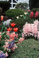 Tulips and Hyacinth spring flowering bulbs in garden setting, pink, red, cream and blue