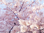 Artistic closeup of cherry blossom with shallow focus, blooming Japanese cherry tree flowers background