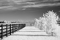 Four pine trees casting shadows on grass and a four plank fence in rural Kentucky. Infrared (IR) photograph by fine art photographer Michael Kloth.