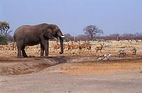 WARTHOGS & IMPALAS wait for an ELEPHANT to finish drinking in the SAVUTI MARSH - CHOBE NATIONAL PARK