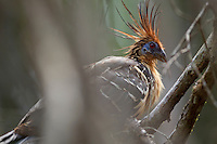 Hoatzin (Opisthocomus hoazin), Amazon, Mato Grosso, Brazil