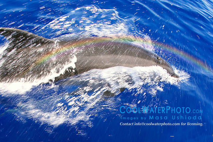 Wild Bottlenose Dolphins, Tursiops truncatus, bow-riding, rainbows over spout, off Kona Coast, Big Island, Hawaii, Pacific Ocean