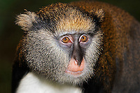 Campbell's Monkey (Cercopithecus campbelli), Captivity.
