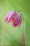 Snakeshead Fritillary, Fritillaria meleagris, UK, native perennial, chequered purple flower