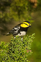 591850032 a wild federally endangered male golden-cheeked warbler setophaga chrysoparia - was dendroica chrysoparia - perches in a fir tree on los madrones ranch near austin travis county texas